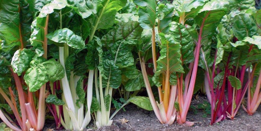 Como plantar acelga – cultivo de acelgas