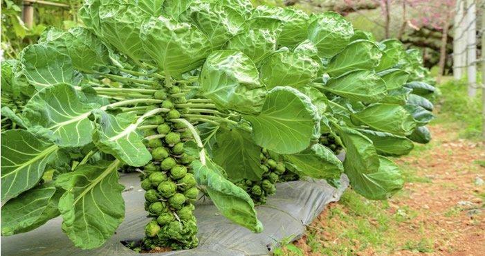 Como cultivar couve de bruxelas na horta plantas jardins for Como cultivar plantas ornamentales
