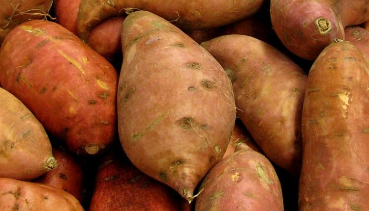 Como plantar e cultivar batata-doce.