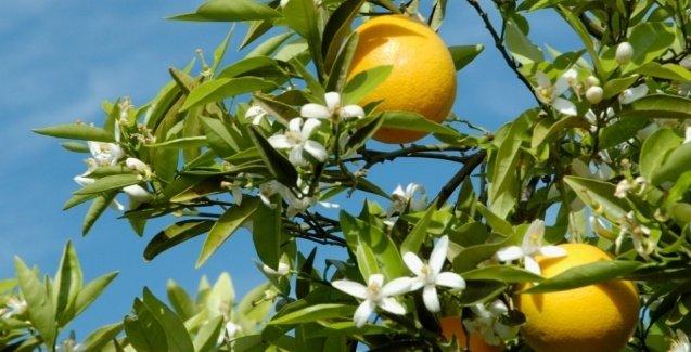 Sintomas de deficiência de Potássio nas laranjeiras e limoeiros