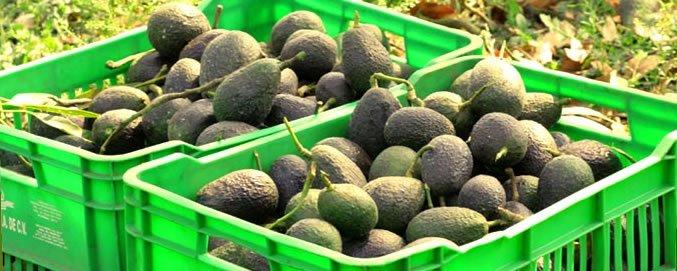 como cultivar abacate