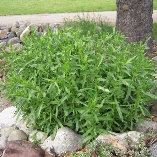 como plantar estragão
