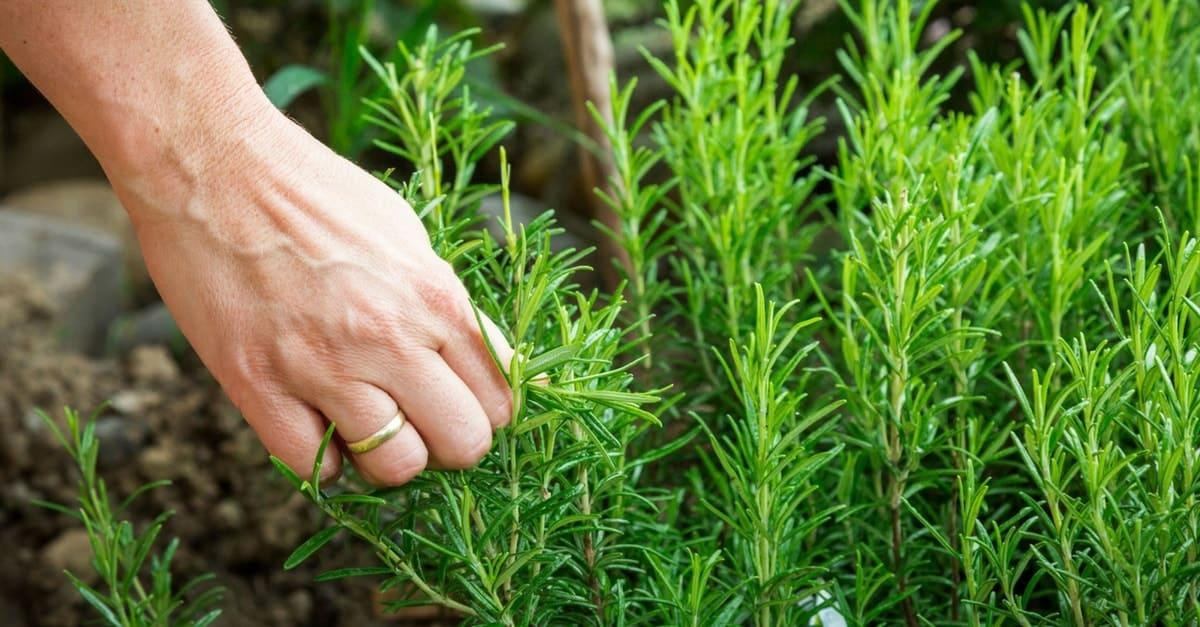 cultivar alecrim