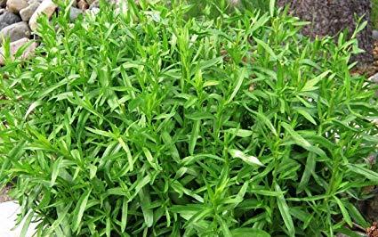 Como plantar e cultivar estragão em casa
