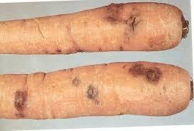 doença das cenouras