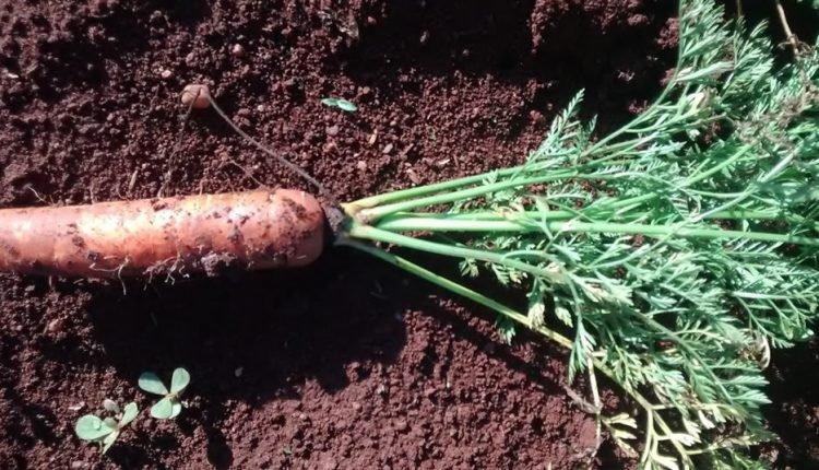 Doenças e pragas que afetam as cenouras.