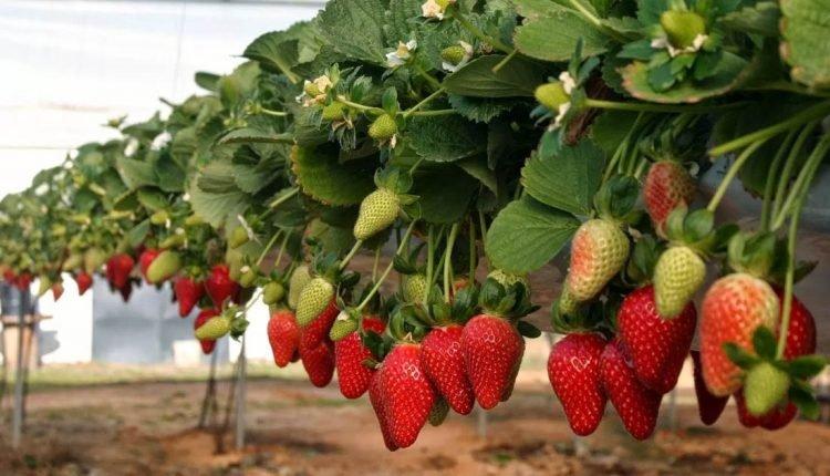 Cultivo de morango sem solo, sem terra