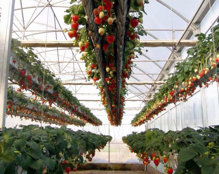 cultivar morangos sem terra