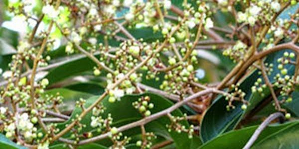 Andiroba (Carapa guianensis) Planta Medicinal