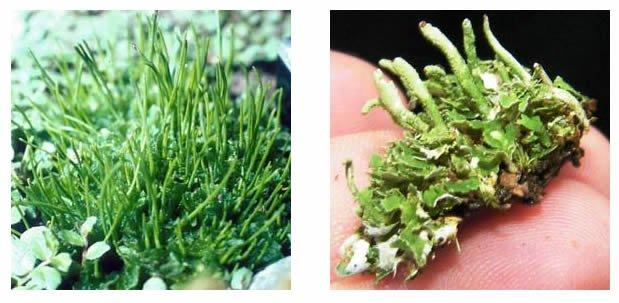 O que são plantas briófitas ou plantas não vasculares