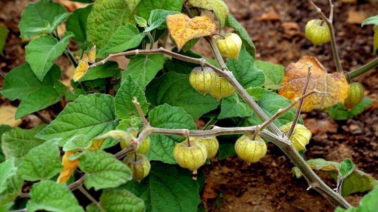 Como plantar e cultivar fisális (phisalis)