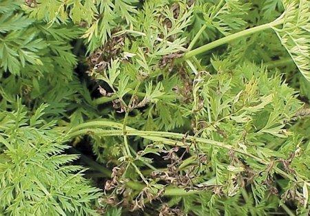 Queima das folhas por cercóspora