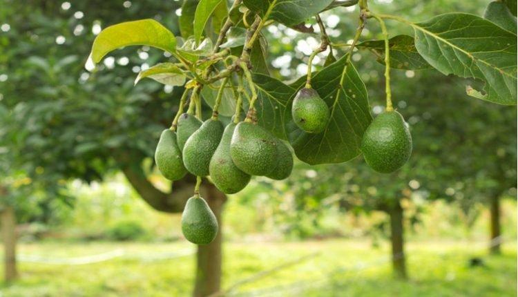Como plantar e cultivar abacate