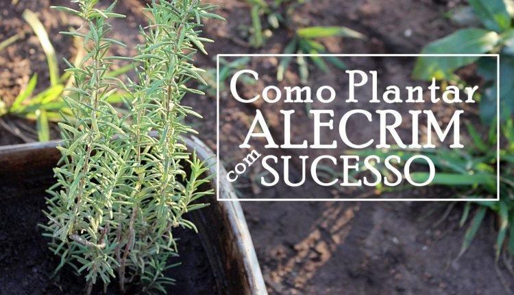 Como plantar e cultivar alecrim.