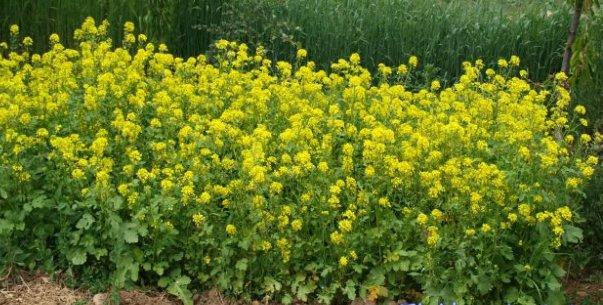 Como plantar e cultivar mostarda