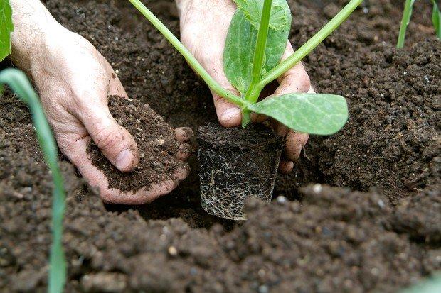 como plantar curgete