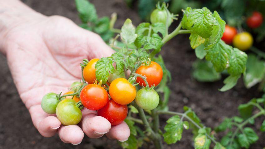 plantar tomateiro