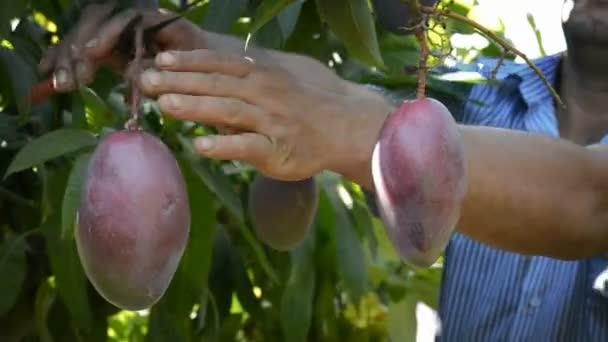 como plantar manga